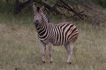 Zebra in kleur van Wesley Klijnstra