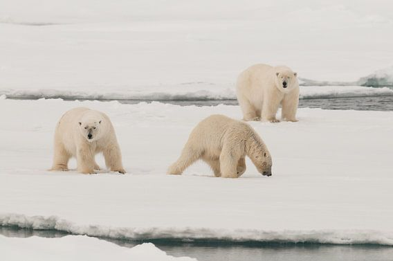 Polars Bears on a big icefloe