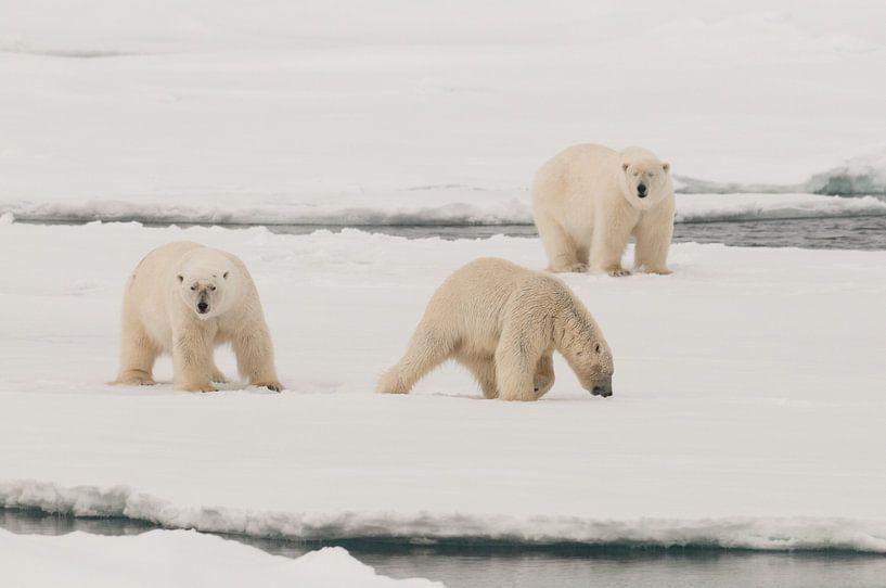 Polars Bears on a big icefloe van Peter Zwitser