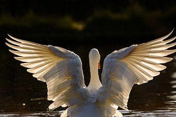 Gans breitet ihre Flügel im Gegenlicht aus von Remco Van Daalen