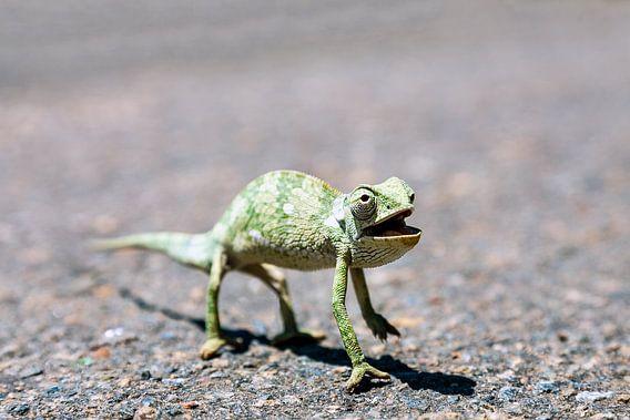 Een Kameleon steekt de straat over