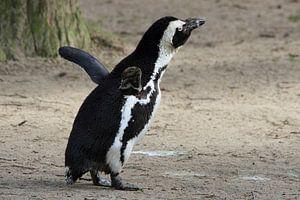 Pinguïn rekt zich lekker uit