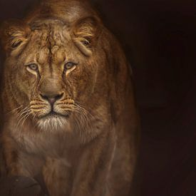 Leeuwin in alertheid van Laura Sanchez