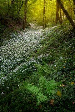 Velden vol met daslook in de mooie bossen van Zuid Limburg van Jos Pannekoek