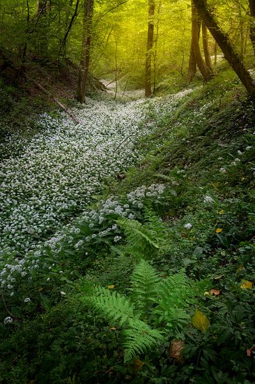 Felder voller Bärlauch in den schönen Wäldern Südlimburgs