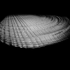 Kontrastreiche weiße Bohrmuschelschale von Rik Verslype