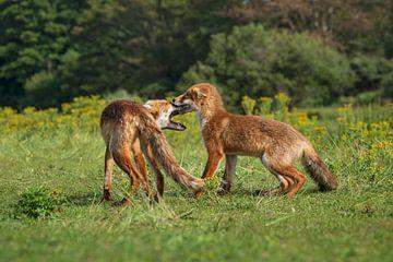 Stoeiende jonge vosjes van Anouschka Hendriks