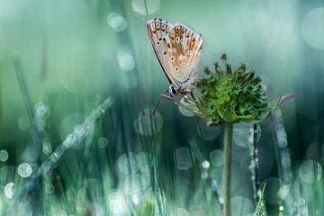 Icarus blauwtje sur Hans van den Beukel