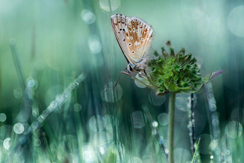 Icarus blauwtje van Hans van den Beukel
