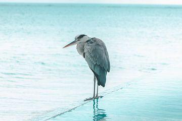 Grijze reiger staat aan de rand van het zwembad van Besa Art