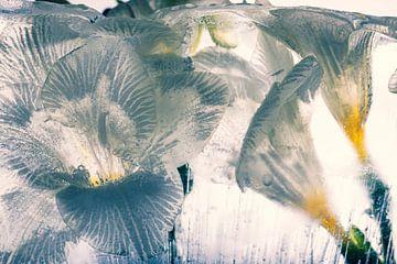 Weiße Freesie in kristallklarem Eis 3 von Marc Heiligenstein