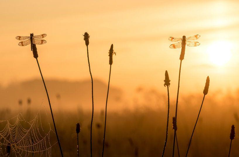 Bandheidelibellen bij zonsopkomst van Erik Veldkamp