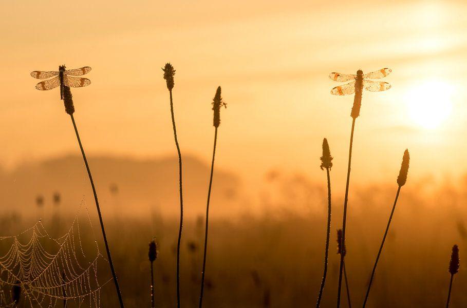 Bandheidelibellen bij zonsopkomst