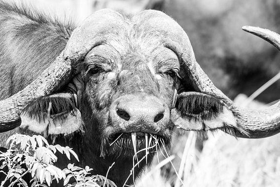 Buffel (Zuid-Afrika) van Lizanne van Spanje