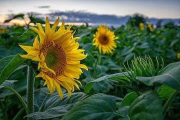 Zonnebloemen in Goudswaard van Leon Okkenburg