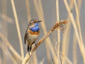 Blaukehlchen auf Schilfrohr in den Niederlanden von John Stijnman
