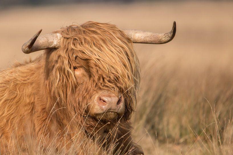 Schotse hooglander van Karin van Rooijen Fotografie