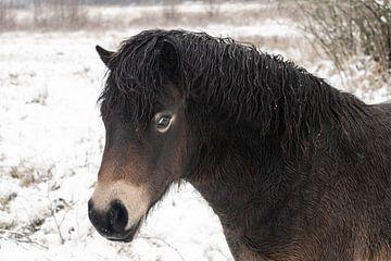 close up van een Exmoor pony in de sneeuw van Ronenvief