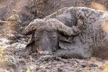 Bison dans la boue sur Dennis Eckert