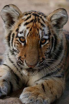 Porträt eines Tigerjungen von Tazi Brown