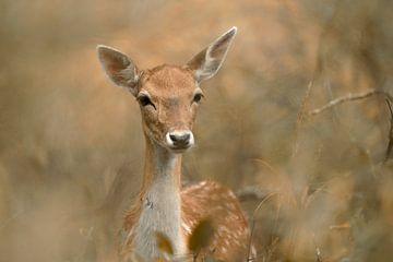 Deer versteckt in den Büschen . von Francis Dost