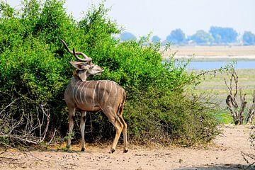 Der große Kudu von Merijn Loch