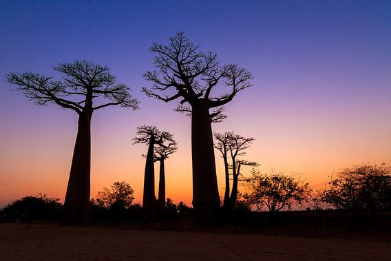 Baobabs tijdens het vallen van de avond van Dennis van de Water