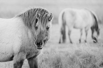 Konik-Pferde in Lentevreugd, Hollands Duin von Melissa Peltenburg