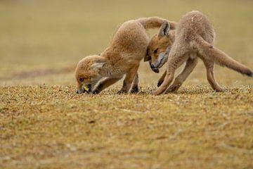 spelende jonge vossen van Rando Kromkamp