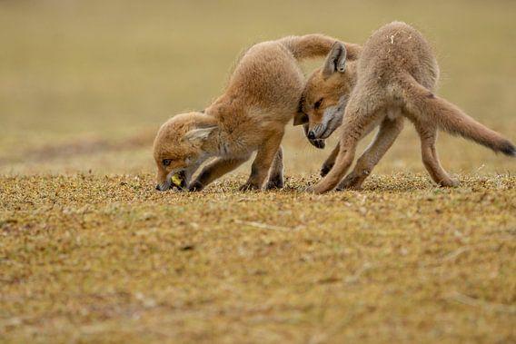 spelende jonge vossen