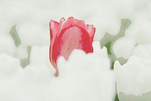Rode tulp in een wit veld