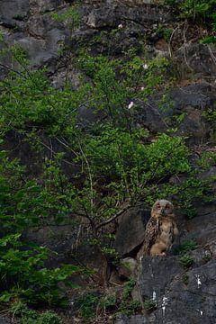Uhu ( Bubo bubo ), Europäischer Uhu, Jungvogel in der Wand eines Steinbruchs, wildlife, Europa, Deut von wunderbare Erde