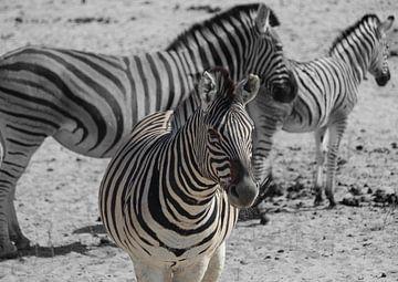 Nahaufnahme von Zebras in Botswana, Afrika (schwarzer und weißer Hintergrund) von R.Phillipson
