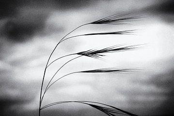Grassen dansen in de wind