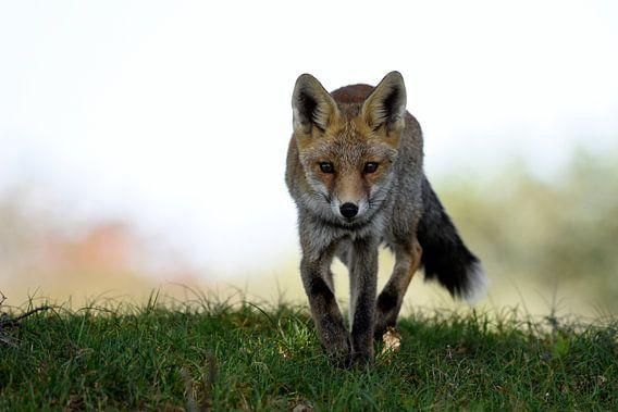 Lopende vos komt tegemoed van Gerjo Horsman