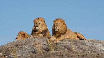 Mannetjes leeuwen op rots in Tanzania Afrika van Robin Jongerden