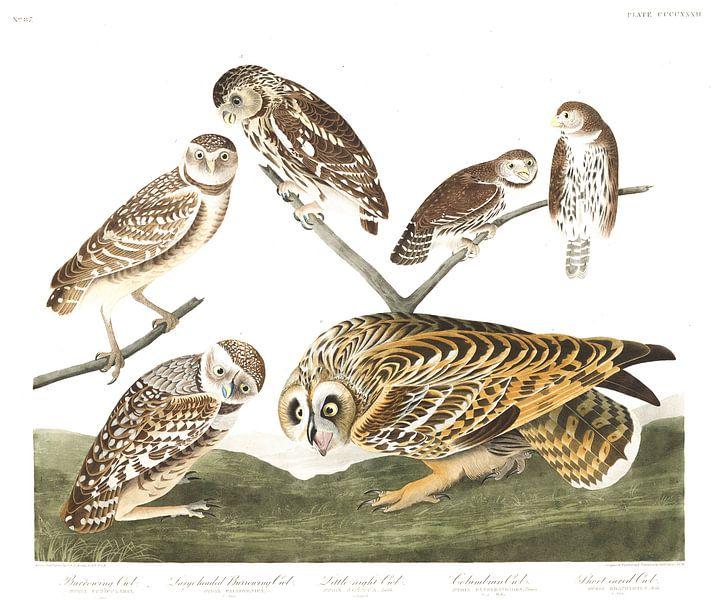Holenuil van Birds of America