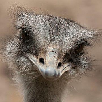 Oogcontract Struisvogel von Sandra Kuijpers