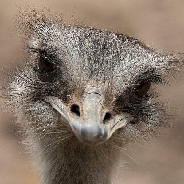 Oogcontract Struisvogel van Sandra Kuijpers