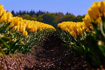 Tulipes sur Erik Koole