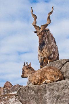 Berggeit met grote hoorns staat op een rots, aan zijn voeten staat een jong geitwijfje, blauwe lucht van Michael Semenov