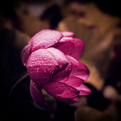 Lotusbloem in de regen