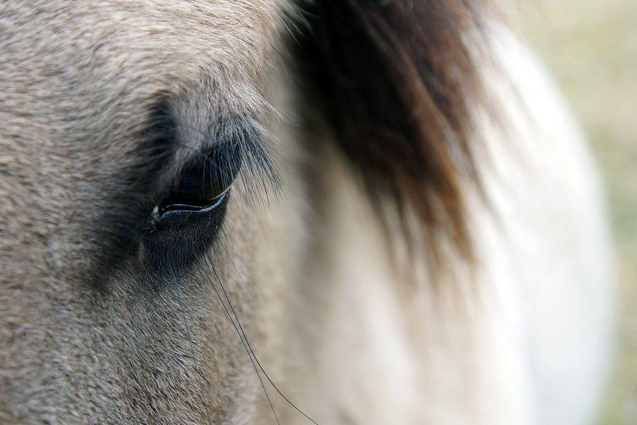oog van een koniks paard