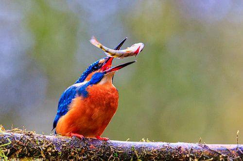 Ijsvogel jonglerend met vis op boomtak