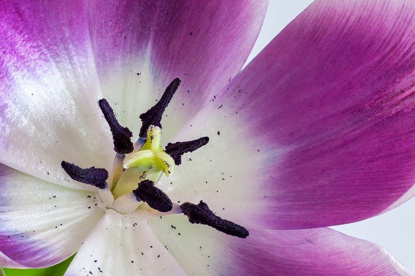 Paars Witte Tulp Close-Up van Ivo Heus