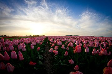 Roze Tulpen van Ronald Bruijniks