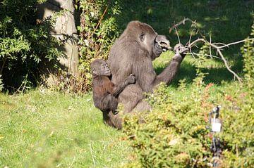 Westelijke laagland Gorilla met jong van Ronald en Bart van Berkel