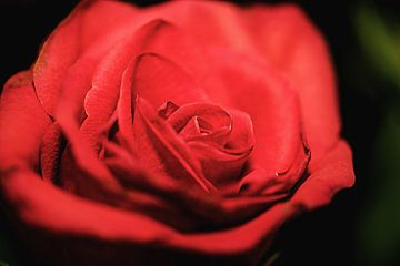 Close-up van een rode roos van Fotografie Jeronimo