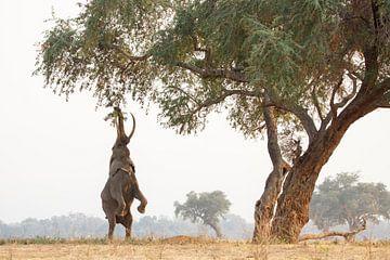Elefant auf seinen Hinterbeinen von Anja Brouwer Fotografie