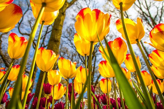 Fleurige gele tulpen